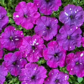 Петуния Веселый художник Дот Стар Виолет F1 Premium Seeds изображение 4