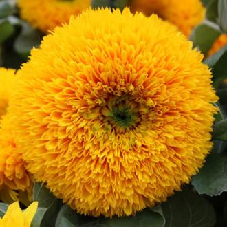 Подсолнечник декоративный мишутка Premium Seeds изображение 3