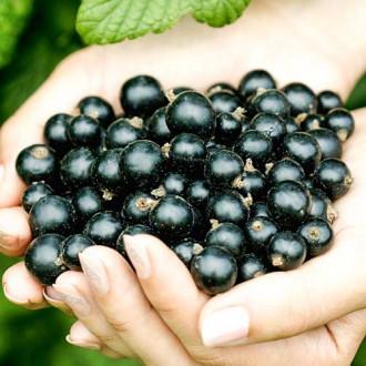 Смородина черная Рубен изображение 2