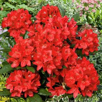 Рододендрон Ред Джек изображение 5
