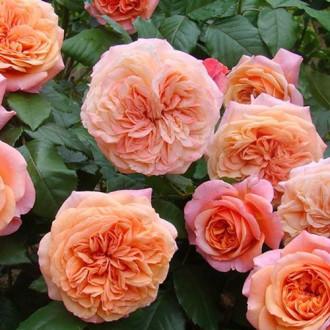 Роза английская Чиппендейл изображение 6