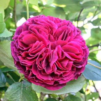 Роза английская Фальстаф изображение 4