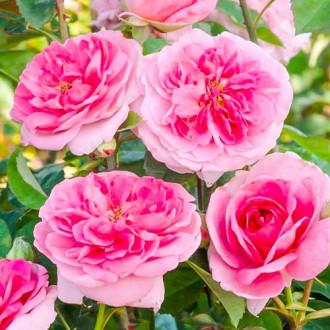 Роза английская Гертруда Джекилл изображение 5