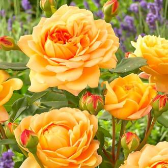 Роза английская Голден Селебрейшн изображение 6