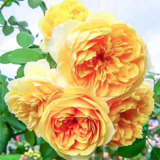 Роза английская Грэхам Томас изображение 4