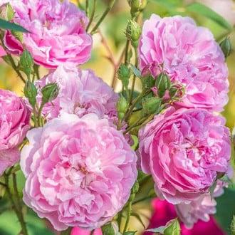 Роза английская Харлоу Карр изображение 8
