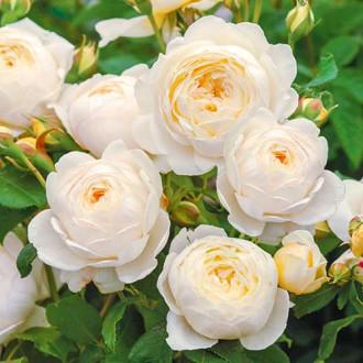 Роза английская Клэр Остин изображение 7