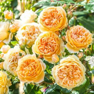 Роза английская Корона Принцессы Маргарет изображение 7