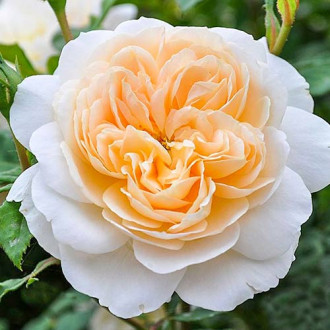 Роза английская Крокус Роуз изображение 5