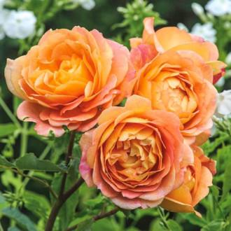 Роза английская Леди оф Шалот изображение 6