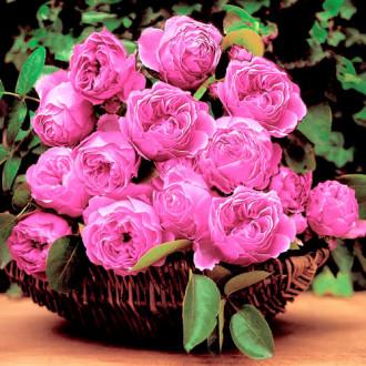 Роза английская Леонардо да Винчи изображение 6