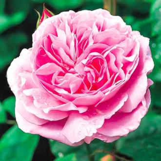 Роза английская Мэри Роуз изображение 7