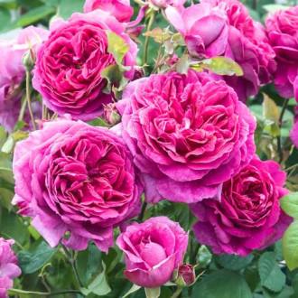 Роза английская Пинк Леди изображение 1