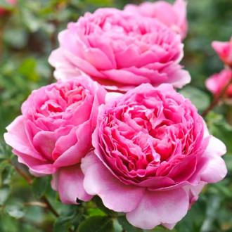 Роза английская Принцесс Алесандра оф Кент изображение 7