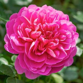 Роза английская Принцесса Анна изображение 8