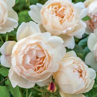 Роза английская Воллертон Олд Холл изображение 7