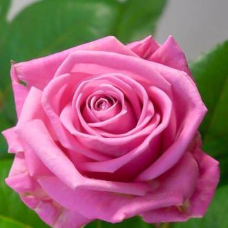 Роза чайно-гибридная Аква изображение 5