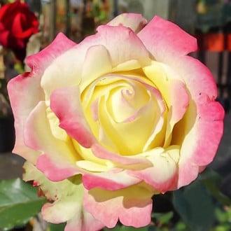 Роза чайно-гибридная Атена изображение 7