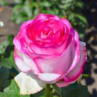 Роза чайно-гибридная Белла Вита изображение 7