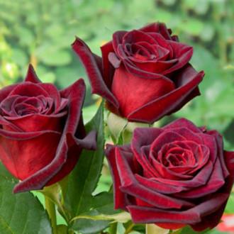 Роза чайно-гибридная Блэк Мэджик изображение 7
