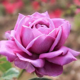 Роза чайно-гибридная Блю Парфюм изображение 6