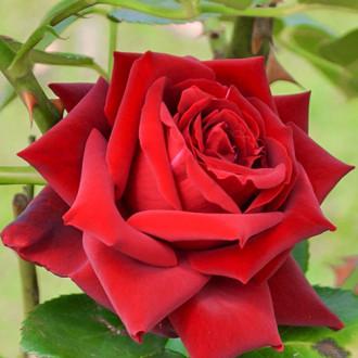 Роза чайно-гибридная Бургундия изображение 2