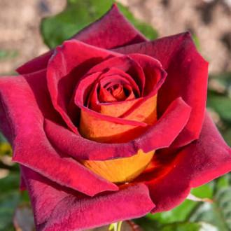Роза чайно-гибридная Эдди Митчел изображение 5