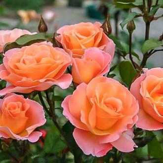 Роза чайно-гибридная Экзотика изображение 5