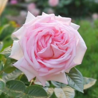 Роза чайно-гибридная Эмезинг Грейс изображение 1