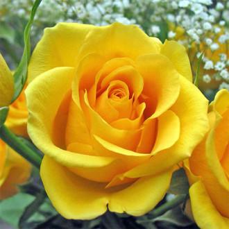 Роза чайно-гибридная Голден Моника изображение 8