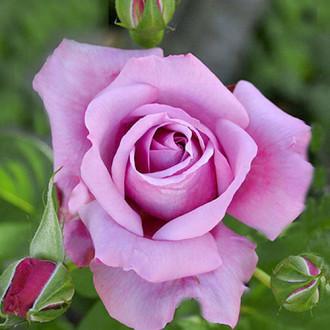 Роза чайно-гибридная Голубой Нил изображение 5