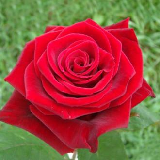 Роза чайно-гибридная Гран При изображение 2