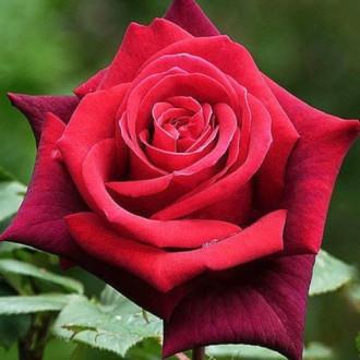 Роза чайно-гибридная Гранд Гала изображение 7