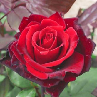 Роза чайно-гибридная Гранд Шато изображение 6