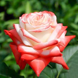 Роза чайно-гибридная Императрица изображение 5