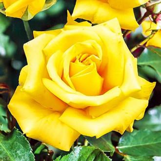 Роза чайно-гибридная Казанова изображение 6