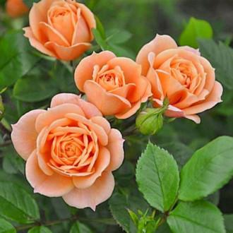 Роза чайно-гибридная Клементина изображение 2