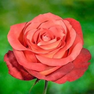 Роза чайно-гибридная Кофе Брейк изображение 4