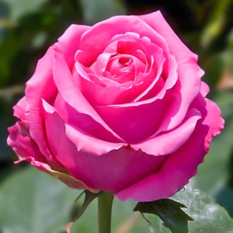 Роза чайно-гибридная Королева красоты изображение 4