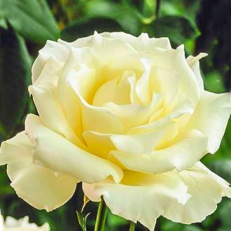 Роза чайно-гибридная Ла Перла изображение 7