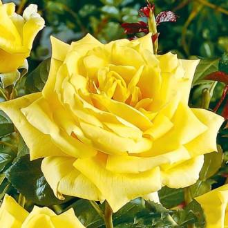 Роза чайно-гибридная Ландора изображение 3