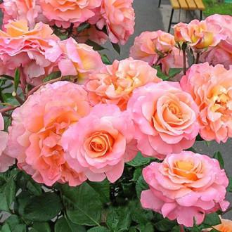 Роза чайно-гибридная Августа Луиза изображение 3