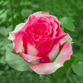 Роза чайно-гибридная Малибу изображение 4