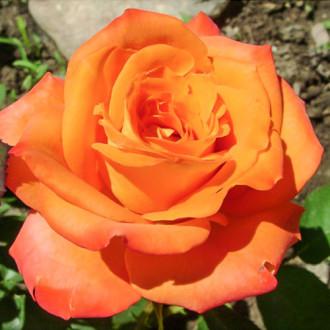 Роза чайно-гибридная Миракли изображение 6