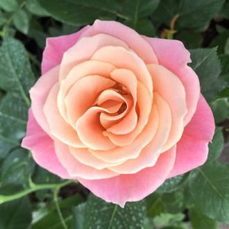 Роза чайно-гибридная Мисс Пигги изображение 4