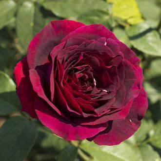Роза чайно-гибридная Олд Ромео изображение 2