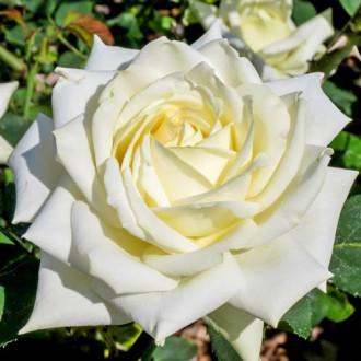 Роза чайно-гибридная Полярная звезда изображение 5