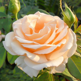 Роза чайно-гибридная Примадонна изображение 5