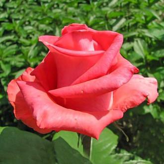 Роза чайно-гибридная Рафаэлло изображение 2
