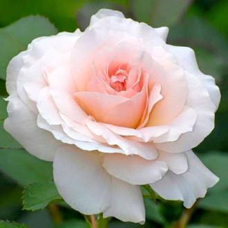 Роза чайно-гибридная Сильвия изображение 3